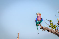 A Lilac-breasted roller resting on a branch. Stock Images
