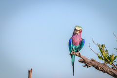 A Lilac-breasted roller resting on a branch. Stock Photos