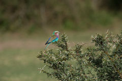 Lilac Breasted Roller. Resting on a thorny plant Stock Images