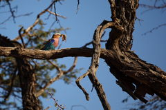 Lilac-breasted roller with scorpion. Catch in namibia, africa Royalty Free Stock Photography