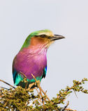 Lilac-breasted Roller, Serengeti National Park, Tanzania, Africa Stock Photography