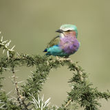 Lilac-breasted Roller in the serengeti, tanzania Royalty Free Stock Photo