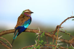 Lilac-breasted roller. Sitting on a branch of acacia in savanna Stock Image