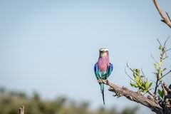 Lilac-breasted roller sitting on a branch. Royalty Free Stock Photos