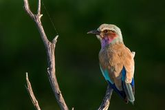 Sitting in the cob webs. Lilac-breasted Roller sitting on dead tree trunk next to spider web Royalty Free Stock Photography