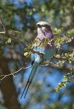 Lilac-breasted roller, south Africa stock image