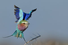 Lilac breasted roller take off Stock Photo