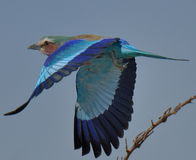 Lilac breasted Roller taking off. From branch in Etosha National Park, Namibia Royalty Free Stock Images
