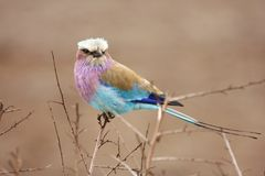 Lilac breasted roller in thorn bush Stock Images
