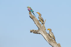Lilac Breasted Roller and two Yellow Billed Hornbills. A lilac breasted roller and two yellow billed hornbills perch on a dead tree branch, Kruger Park, South Royalty Free Stock Photography