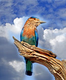 Lilac Breasted Roller with a vivid blue sky background Stock Images