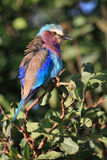 Lilac brested roller. (coracias caudata) in serengeti national park Tanzania Stock Images