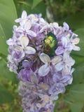 Lilac. Brilliant Junebug on summer lilac Royalty Free Stock Photos
