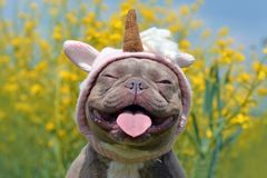 Lilac brindle colored French Bulldog dog with funny pink unicorn hat, closed eyes and tongue sticking out on blurry yellow flower stock photography