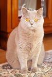 Lilac British Cat. Beautiful lilac british cat sitting on a carpet Stock Photos