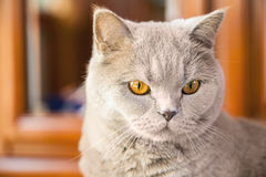 Lilac british cat Royalty Free Stock Photo
