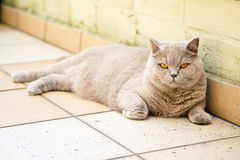 Lilac british cat Royalty Free Stock Photography