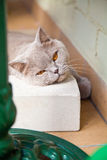 Lilac british cat lying on white brick Royalty Free Stock Image