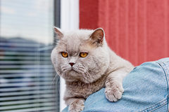 Lilac british cat Royalty Free Stock Photos