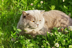 Lilac british cat sitting on a floral green lawn Royalty Free Stock Photography