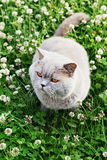 Lilac british cat sitting on a floral lawn Royalty Free Stock Photos