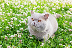 Lilac british cat Royalty Free Stock Image