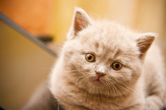 Lilac British Kitten Royalty Free Stock Photos
