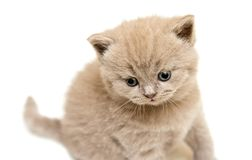 Lilac British Kitten Stock Images