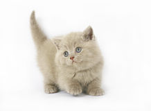 Lilac British kittens Stock Image