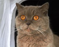 lilac British Shorthair cat stock image