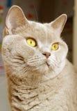 Lilac british shorthair portrait Stock Images