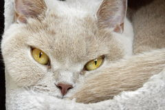 Lilac british shorthair portrait Royalty Free Stock Images