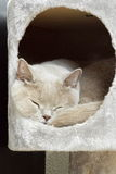 Lilac british shorthair sleeping Stock Image