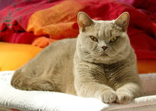 Lilac british shorthair Stock Images