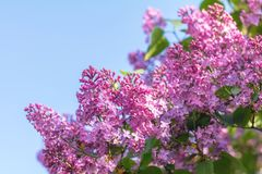 Lilac brunch at the blue sky background Stock Images