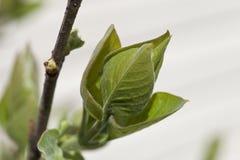 Lilac Bud Royalty Free Stock Photo