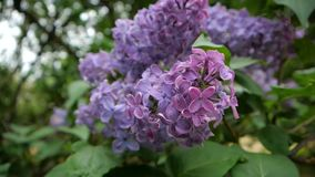 Lilac bud in the park close up. The background is beautifully blurred stock video footage
