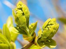 Lilac buds closeup Stock Photos