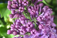 Lilac buds Stock Images