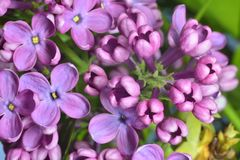 Lilac buds Royalty Free Stock Photo