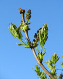 Lilac Buds in Spring. The flower buds and young leaves of a Syringa plant (Lilac) against a background of blue sky Royalty Free Stock Image