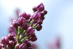 Lilac buds in spring Stock Images