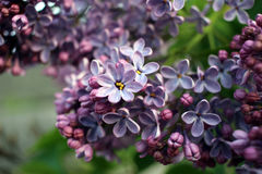 Lilac bunch Stock Image