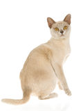 Lilac Burmese kitten, on white background. Show champion lilac Burmese kitten on white background stock photo