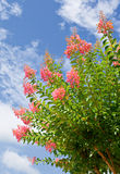 Lilac bush. Over blue sky royalty free stock photos