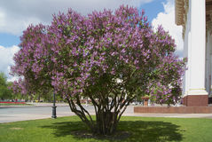 Lilac bush Stock Photos