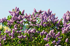 The lilac bush Stock Photo