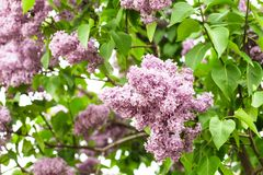Lilac bush Stock Photography