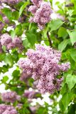 Lilac bush Stock Images