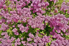Lilac bush. Blooming lilac bush in the garden for background Royalty Free Stock Photography